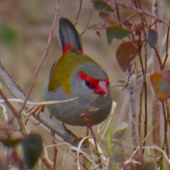 Neochmia temporalis (Red-browed Finch) at Brogo, NSW - 18 Dec 2019 by MaxCampbell