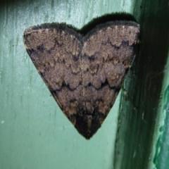 Mormoscopa phricozona (A Herminiid Moth) at Flynn, ACT - 19 Dec 2019 by Christine