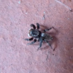 Hypoblemum griseum (A jumping spider) at Flynn, ACT - 19 Dec 2019 by Christine