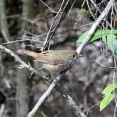 Acanthiza pusilla (Brown Thornbill) at Upper Nepean - 25 Oct 2018 by JanHartog