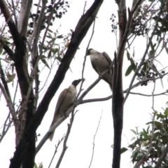 Philemon corniculatus (Noisy Friarbird) at Alpine, NSW - 16 Oct 2018 by JanHartog