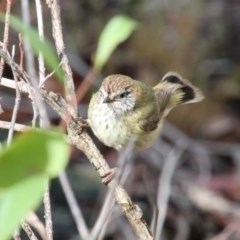 Acanthiza lineata (Striated Thornbill) at Upper Nepean - 16 Oct 2018 by JanHartog