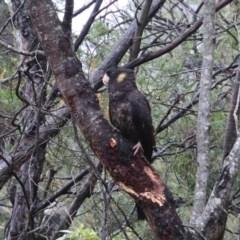 Calyptorhynchus funereus (Yellow-tailed Black-Cockatoo) at Alpine, NSW - 13 Oct 2018 by JanHartog