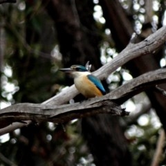Todiramphus sanctus (Sacred Kingfisher) at Alpine - 3 Nov 2017 by JanHartog