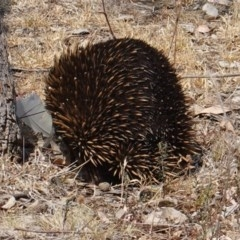 Tachyglossus aculeatus (Short-beaked Echidna) at Federal Golf Course - 16 Dec 2019 by JackyF