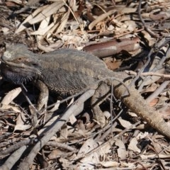 Pogona barbata (Eastern Bearded Dragon) at Hughes Grassy Woodland - 15 Dec 2019 by JackyF