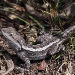 Amphibolurus muricatus at Penrose, NSW - 12 Sep 2019