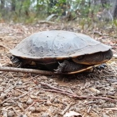 Chelodina longicollis (Eastern Long-necked Turtle) at Penrose, NSW - 15 Dec 2019 by Aussiegall