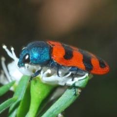 Castiarina crenata (Crenata jewel beetle) at Molonglo River Park - 20 Dec 2019 by Harrisi