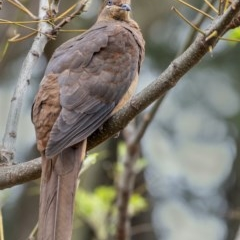 Macropygia phasianella (Brown Cuckoo-dove) at Penrose, NSW - 7 Oct 2019 by Aussiegall