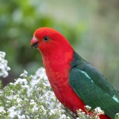 Alisterus scapularis (Australian King-Parrot) at Penrose, NSW - 7 Oct 2019 by Aussiegall