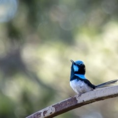 Malurus cyaneus (Superb Fairywren) at Penrose - 29 Oct 2019 by Aussiegall