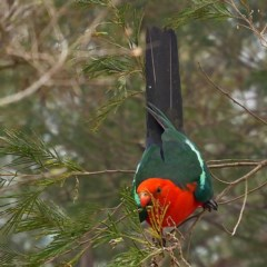Alisterus scapularis (Australian King-parrot) at Brogo, NSW - 20 Dec 2019 by MaxCampbell