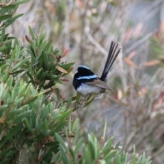 Malurus cyaneus (Superb Fairywren) at Giralang, ACT - 15 Dec 2019 by NinaMc