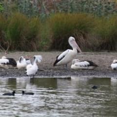 Pelecanus conspicillatus (Australian Pelican) at Lake Ginninderra - 15 Dec 2019 by NinaMc