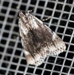 Spectrotrota fimbrialis (A Pyralid moth) at O'Connor, ACT - 18 Dec 2019 by ibaird