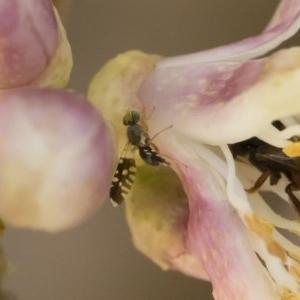 Spathulina acroleuca at Michelago, NSW - 14 Dec 2019
