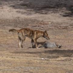 Canis lupus (Dingo / Wild Dog) at Namadgi National Park - 14 Dec 2019 by rawshorty