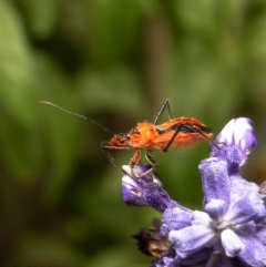 Gminatus australis (Orange Assassin Bug) at Macgregor, ACT - 21 Dec 2019 by Roger