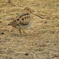 Gallinago hardwickii (Latham's Snipe) at Berry, NSW - 22 Dec 2019 by Andrejs