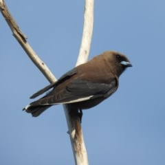 Artamus cyanopterus (Dusky Woodswallow) at Berry, NSW - 19 Dec 2019 by Andrejs