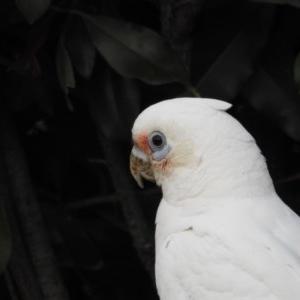 Cacatua sanguinea at Berry, NSW - 17 Dec 2019