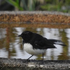 Rhipidura leucophrys (Willie Wagtail) at Berry, NSW - 17 Dec 2019 by Andrejs