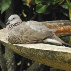 Streptopelia chinensis (Spotted Dove) at Berry, NSW - 12 Dec 2019 by Andrejs