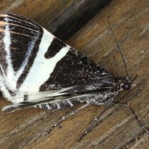 Phrataria bijugata at Ainslie, ACT - 21 Dec 2019