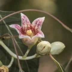 Brachychiton populneus subsp. populneus (Kurrajong) at Kaleen, ACT - 22 Dec 2019 by AlisonMilton
