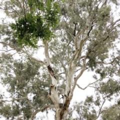 Callocephalon fimbriatum (Gang-gang Cockatoo) at Hughes Garran Woodland - 22 Dec 2019 by ruthkerruish