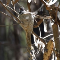 Rhipidura albiscapa (Grey Fantail) at Mittagong - 20 Dec 2016 by JanHartog