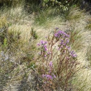 Comesperma retusum at Namadgi National Park - 23 Dec 2019