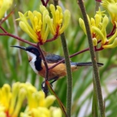 Acanthorhynchus tenuirostris (Eastern Spinebill) at ANBG - 22 Dec 2019 by RodDeb