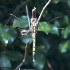 Orthetrum caledonicum (Blue Skimmer) at Ainslie, ACT - 20 Dec 2019 by jbromilow50