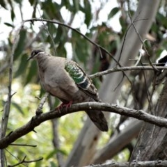 Phaps chalcoptera (Common Bronzewing) at - 28 Oct 2017 by JanHartog