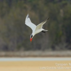 Hydroprogne caspia (Caspian Tern) at Cunjurong Point, NSW - 7 Dec 2019 by Charles Dove
