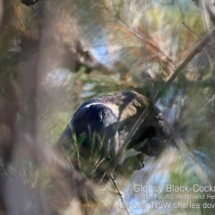 Calyptorhynchus lathami (Glossy Black-cockatoo) at South Pacific Heathland Reserve - 7 Dec 2019 by Charles Dove