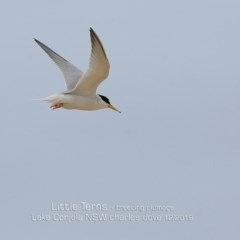 Sternula albifrons (Little Tern) at Cunjurong Point, NSW - 7 Dec 2019 by CharlesDove