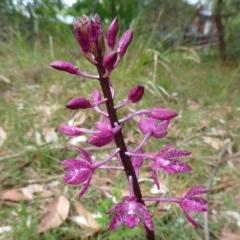Dipodium punctatum (Hyacinth Orchid) at Batemans Marine Park - 19 Dec 2019 by HelenR