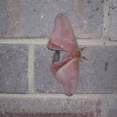Austrocaligula helena (TBC) at Wingecarribee Local Government Area - 24 Oct 2003 by BillM