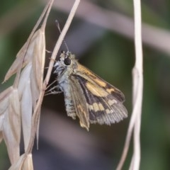 Ocybadistes walkeri (Greenish Grass-dart) at Higgins, ACT - 23 Dec 2019 by AlisonMilton