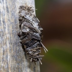 Psychidae sp. (family) (Unidentified case moth or bagworm) at Higgins, ACT - 23 Dec 2019 by AlisonMilton