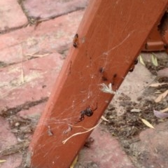 Latrodectus hasselti (Redback Spider) at Aranda, ACT - 23 Dec 2019 by KMcCue