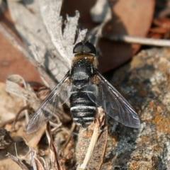 Villa sp. (genus) (Unidentified Villa bee fly) at Mcquoids Hill - 22 Dec 2019 by HelenCross