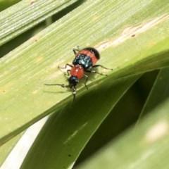 Dicranolaius bellulus (Red and Blue Pollen Beetle) at Australian National University - 11 Dec 2019 by AlisonMilton