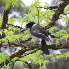 Cracticus torquatus (Grey Butcherbird) at Mittagong - 15 Oct 2018 by JanHartog