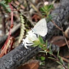Unidentified Blue & Copper (Lycaenidae) (TBC) at Alpine, NSW - 27 Oct 2017 by JanHartog