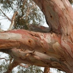 Eucalyptus mannifera (Brittle Gum) at Red Hill Nature Reserve - 21 Dec 2019 by JackyF