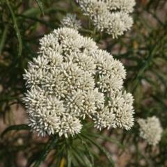 Cassinia aculeata subsp. aculeata (Dolly Bush, Common Cassinia, Dogwood) at Deakin, ACT - 19 Dec 2019 by JackyF